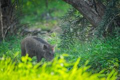 Wild boar roaming in a beautiful green background in a rainy season at Ranthambore National Park, India. Wild boar roaming in a beautiful green background in a royalty free stock photography