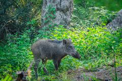 Wild boar roaming in a beautiful green background in a rainy season at Ranthambore National Park, India stock photography
