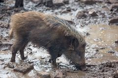 Wild boar rooting for food in mud. Stock Photography