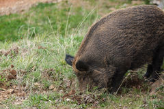 Wild boar rooting in. Wild boar rootin in the ground royalty free stock photo