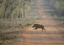 Wild Boar Running and crossing the forest Path Stock Photography