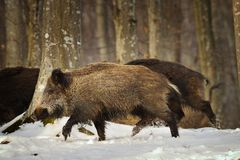 Wild boar running in the forest Royalty Free Stock Photography