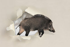 Wild boar running through a hole torn the paper Royalty Free Stock Image