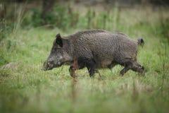 Wild boar running Stock Image