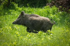 Wild boar. Running on meadow Royalty Free Stock Photos