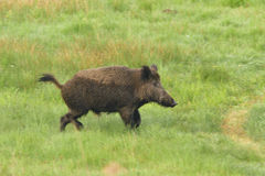 Wild boar running Royalty Free Stock Photos