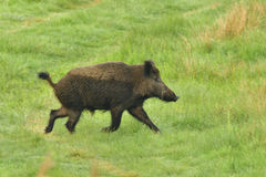 Wild boar running Royalty Free Stock Image