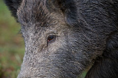Wild boar`s eye. Close up of wild boar`s eye sus scrofa ferus Royalty Free Stock Photos