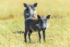 Wild boar in the savannah Royalty Free Stock Photos