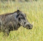 Wild boar in the savannah Royalty Free Stock Photo