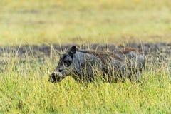 Wild boar in the savannah Stock Image