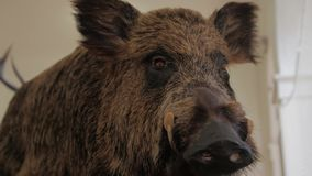 A wild boar scarecrow stock video footage