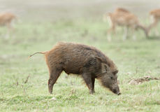 Wild boar searching food in the grassland of Dhikala Stock Photo