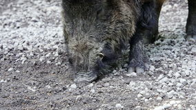 Wild boar stock video footage