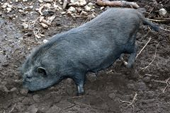 Wild boar searching for roots. To eat in Dolomiti mountains, in Italy Royalty Free Stock Photo