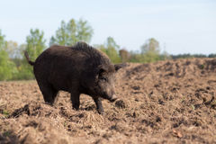 Wild boar searhing food on field Stock Photos
