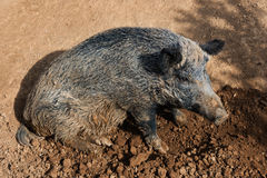 Wild boar sitting on the mud Royalty Free Stock Image