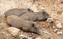 Wild boar sleep Stock Images