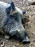 Wild boar. Sleeping wild boar Stock Image