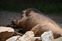 Wild Boar Sleeping Royalty Free Stock Images