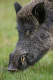 Wild boar sniffing for food Royalty Free Stock Photo