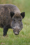 Wild boar sniffing for food Royalty Free Stock Image