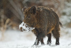 Wild boar in snow Stock Photo