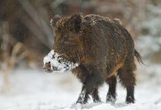 Wild boar in snow Stock Photo