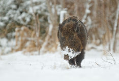 Wild boar in snow Royalty Free Stock Photos