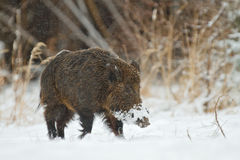Wild boar in snow Royalty Free Stock Photography