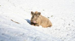 Wild boar lying in snow Royalty Free Stock Photography