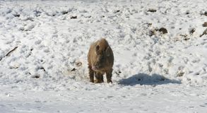 Wild boar in snow Royalty Free Stock Photo