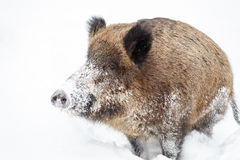 Wild boar in the snow Royalty Free Stock Image