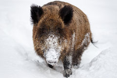 Wild boar in the snow Stock Photos