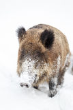 Wild boar in the snow Stock Images