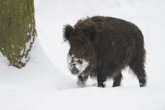 Wild boar in the snow Stock Photography