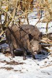 Wild boar in snow. Female wild boar sow in a snowy white winter forest Stock Images