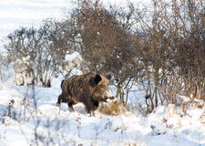 Wild boar on snow Royalty Free Stock Images