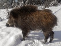 Wild boar. Snow hunting road mauntain sanny day traces nature winer stock photos