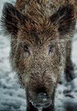 Wild boar in snow looks. To the camera Stock Image