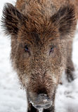 Wild boar on snow looks. To the camera Stock Photo