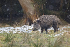 Wild boar in snow shower. A male boar pauses as snow flakes fall around him Stock Photography