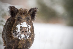 Wild boar with snow on snout. Wild boar looking at the camera, he has snow on his snout from foraging in a winter forest stock photography