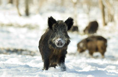 Wild boar on snow Stock Images