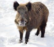 Wild boar on snow Royalty Free Stock Photo