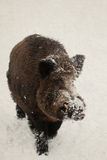 Wild boar in snow. winter Stock Photo
