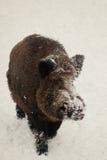 Wild boar in snow. winter Stock Photo