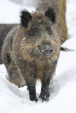 Wild boar in snowfall. The wild boar in the snowstorm Royalty Free Stock Images