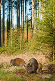 Wild boar sounder Royalty Free Stock Photo
