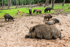 Wild boar sounder Stock Photography